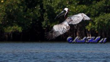 pelican_wm